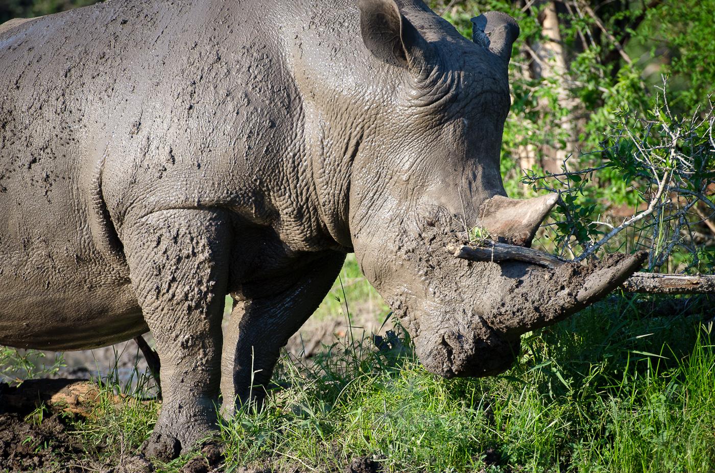 Rhino scratching. KP