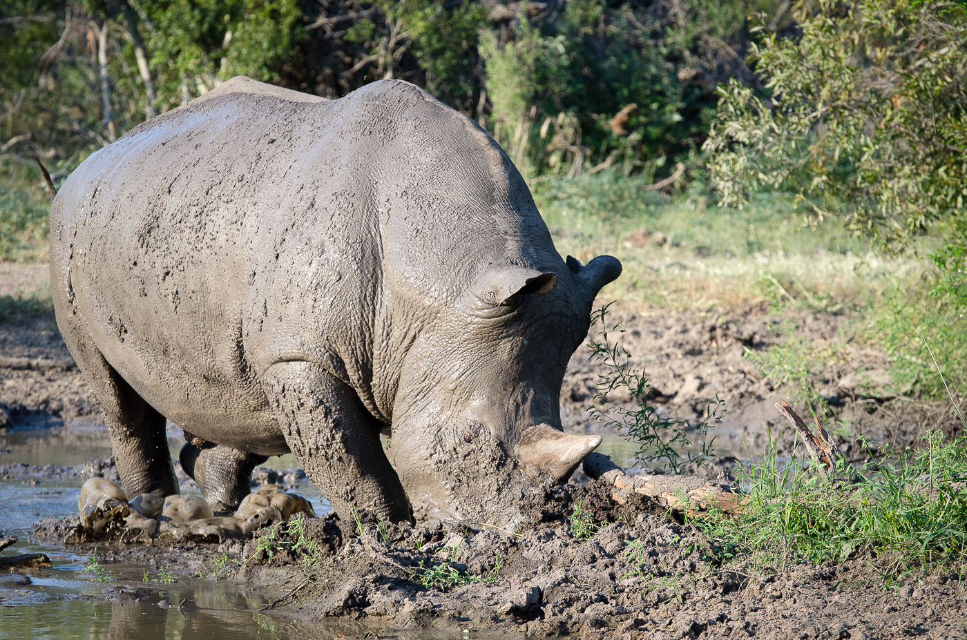 Rhino mud bath. KP