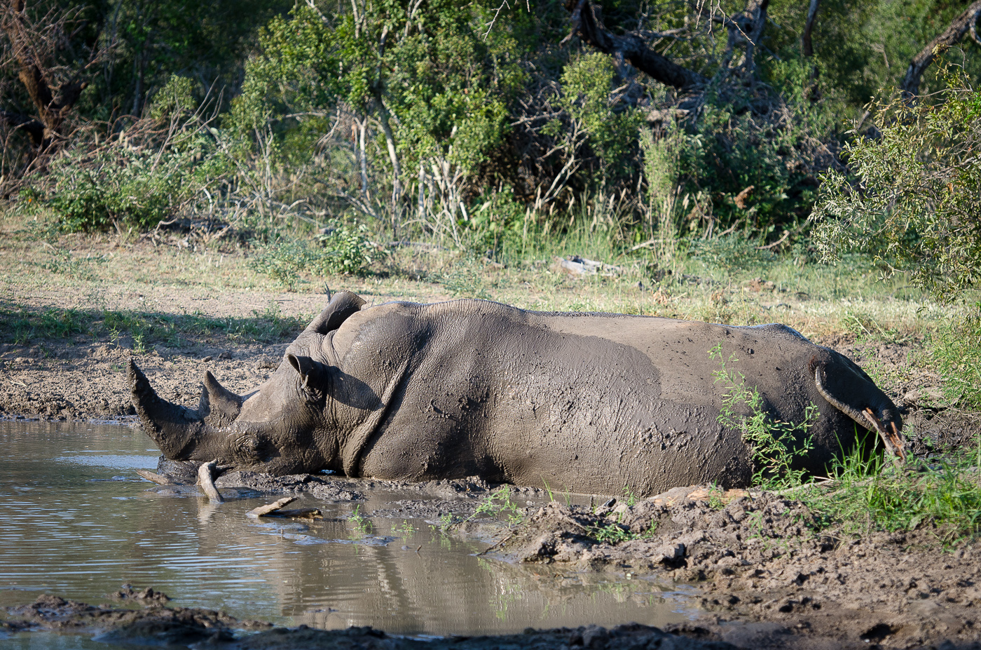 Rhino mud bath 1. KP