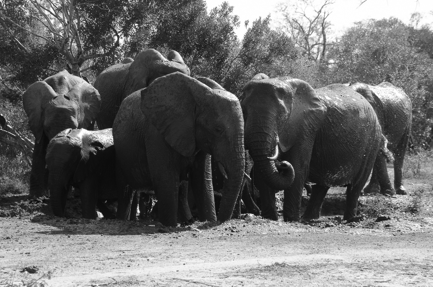 Ellephants wallowing. KP