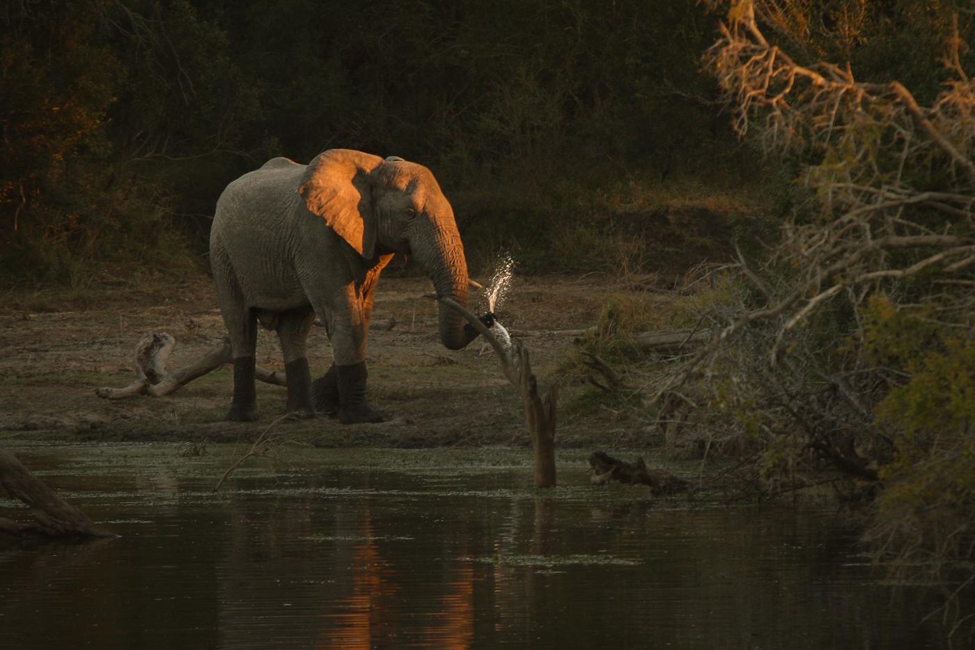Elephant Taylor's
