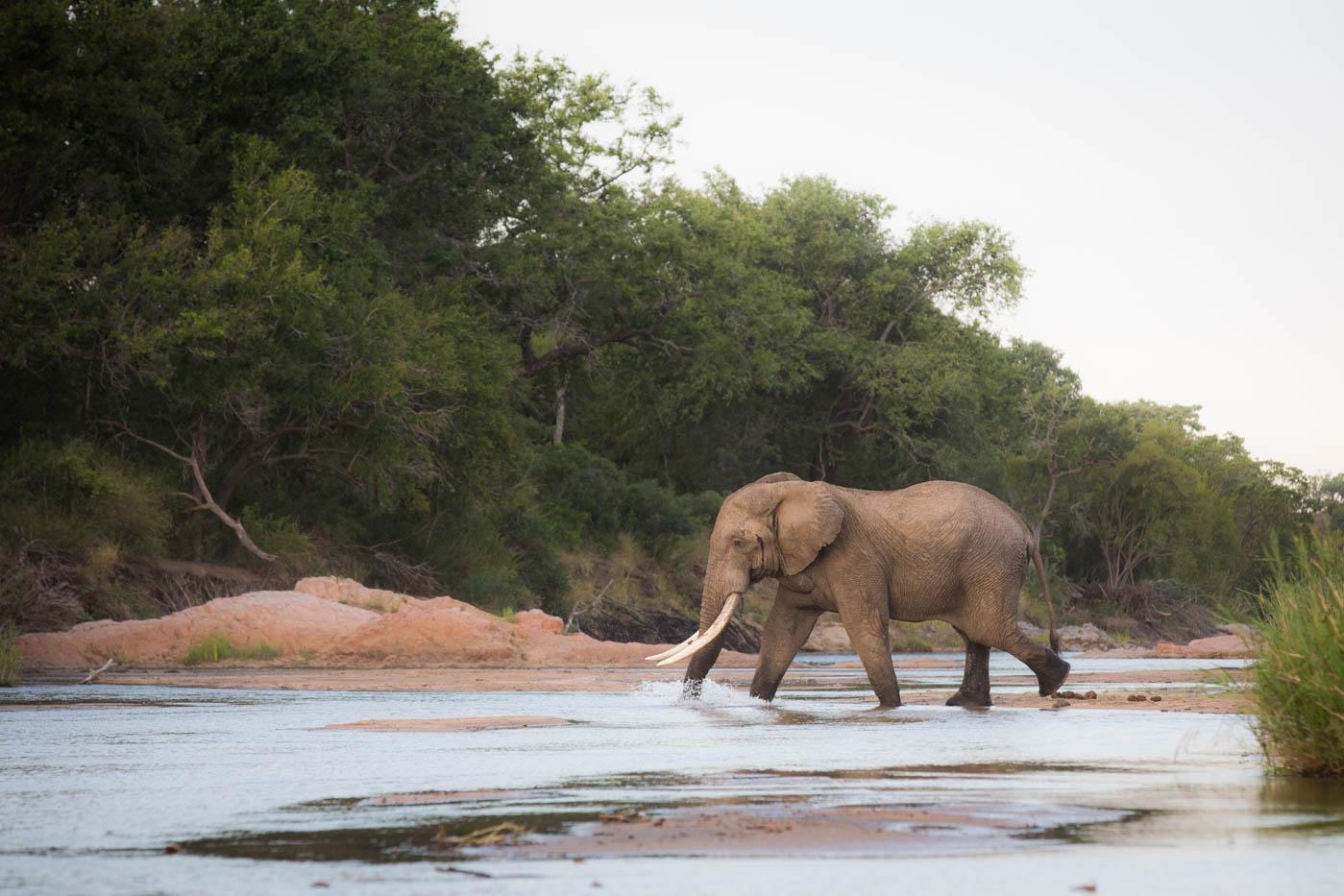 Elephant Tusker River JT