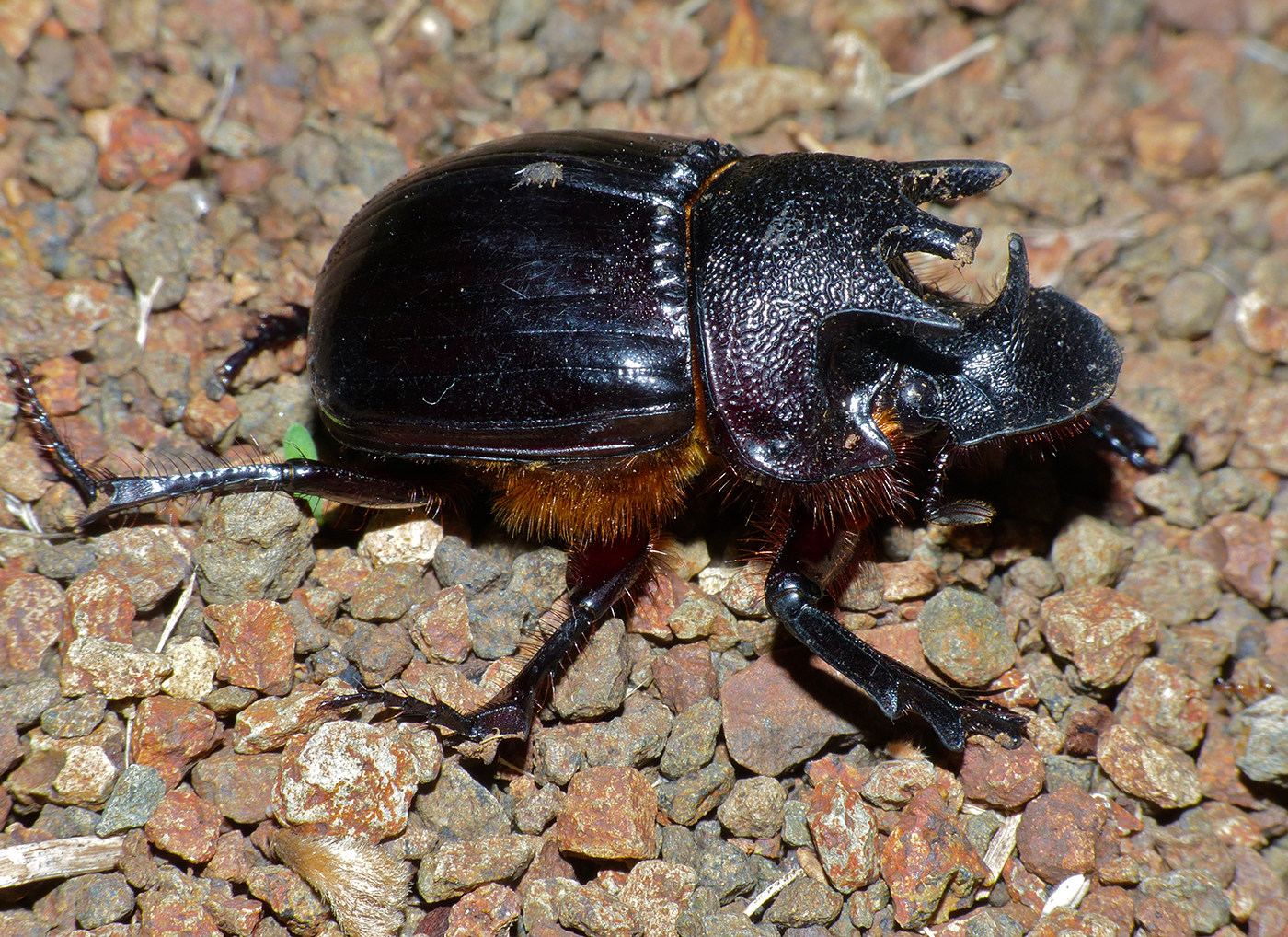 single horned beetle Facts, identification & control appearance adult asian longhorned beetles are less than 5 cm long and have a shiny black outer skeleton containing white spots.