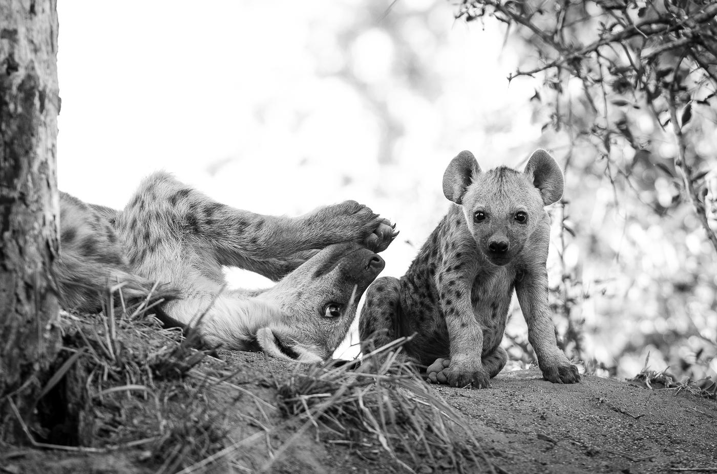 hyena cubs. KP
