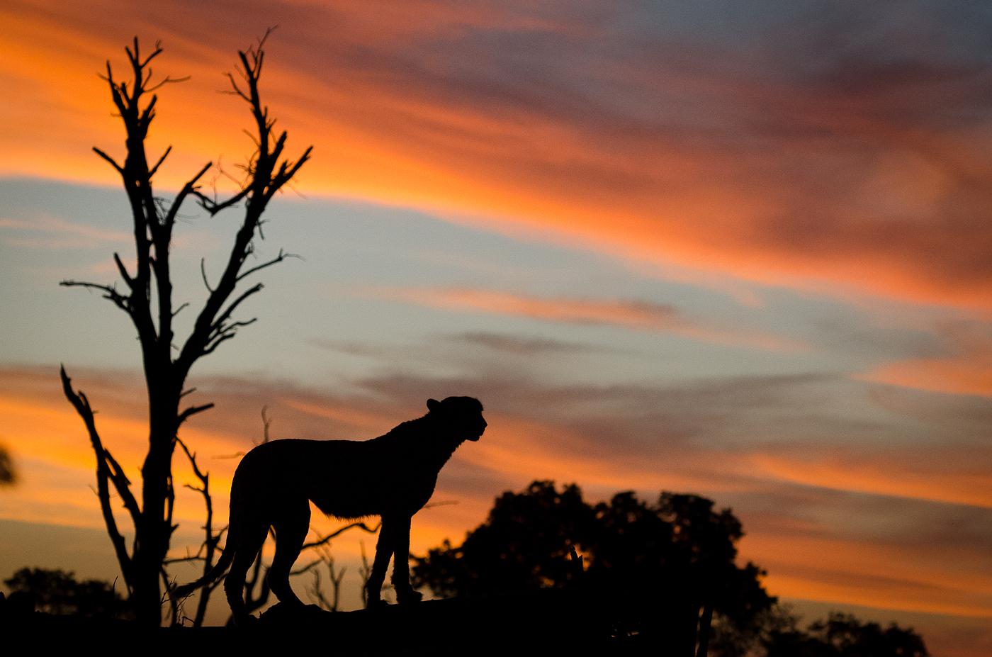 cheetah sunset. KP