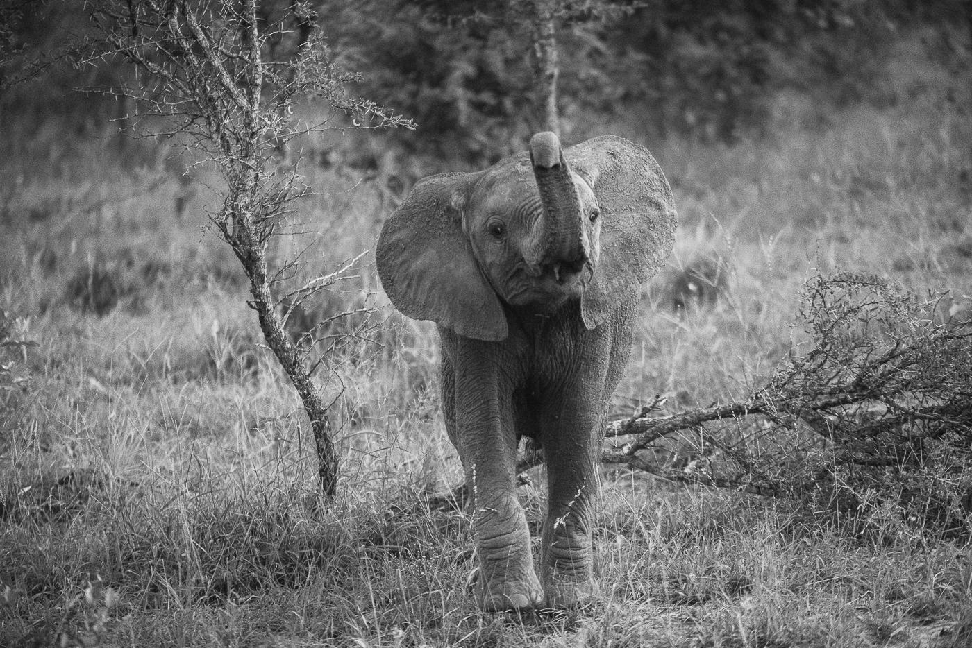 Elephant calf trunk up