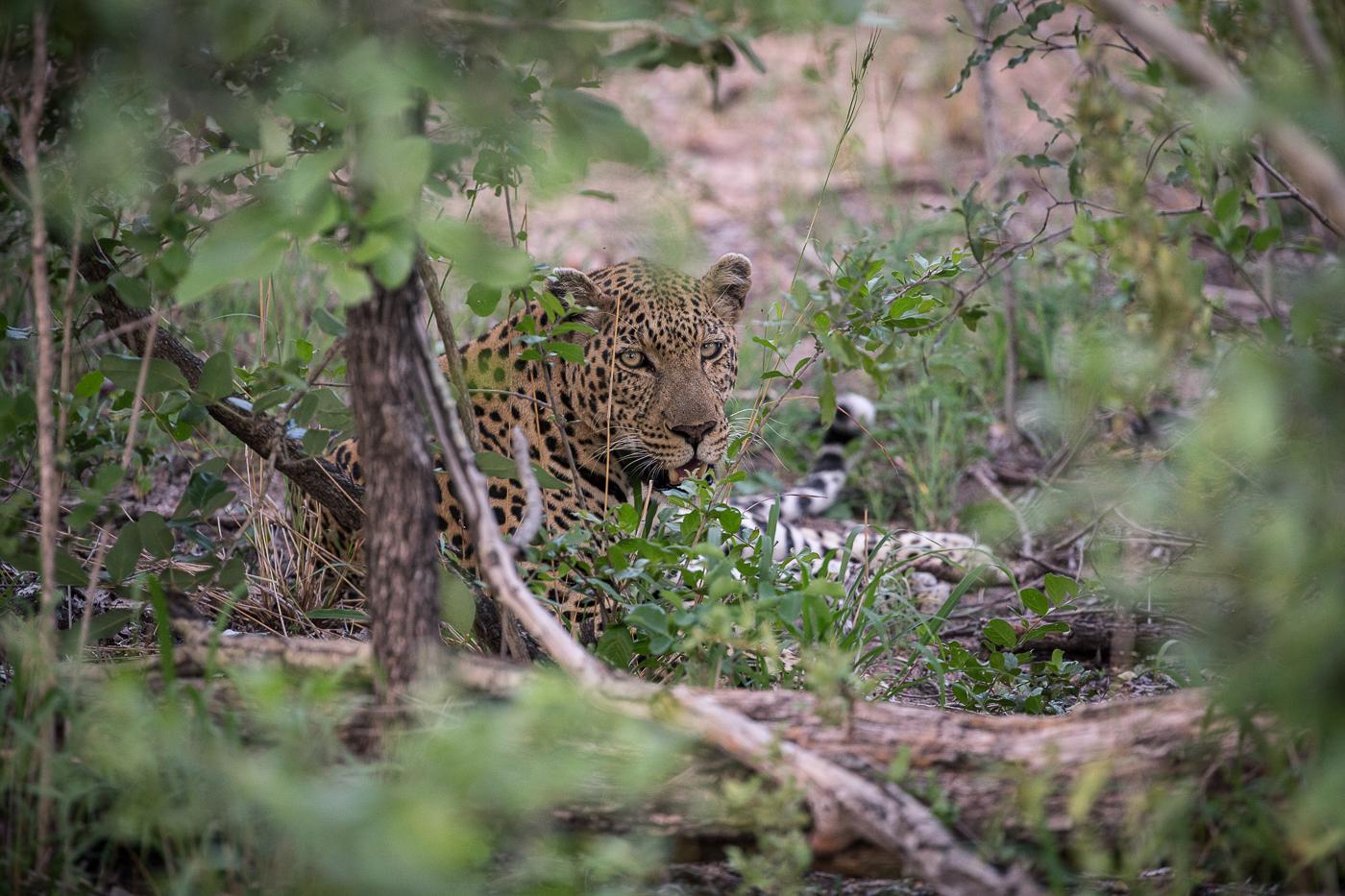4:4 male leopard