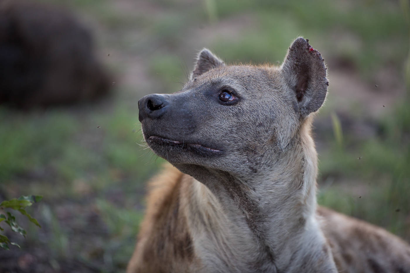 hyena looking up