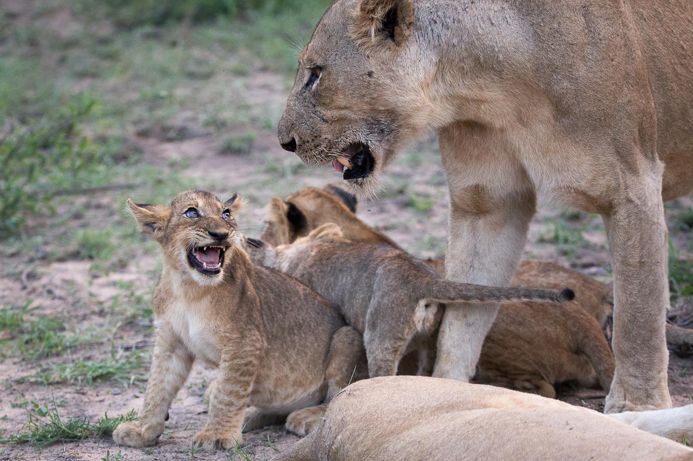 Sparta pride cub