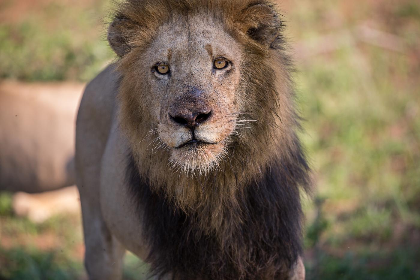 Matshipiri male lion