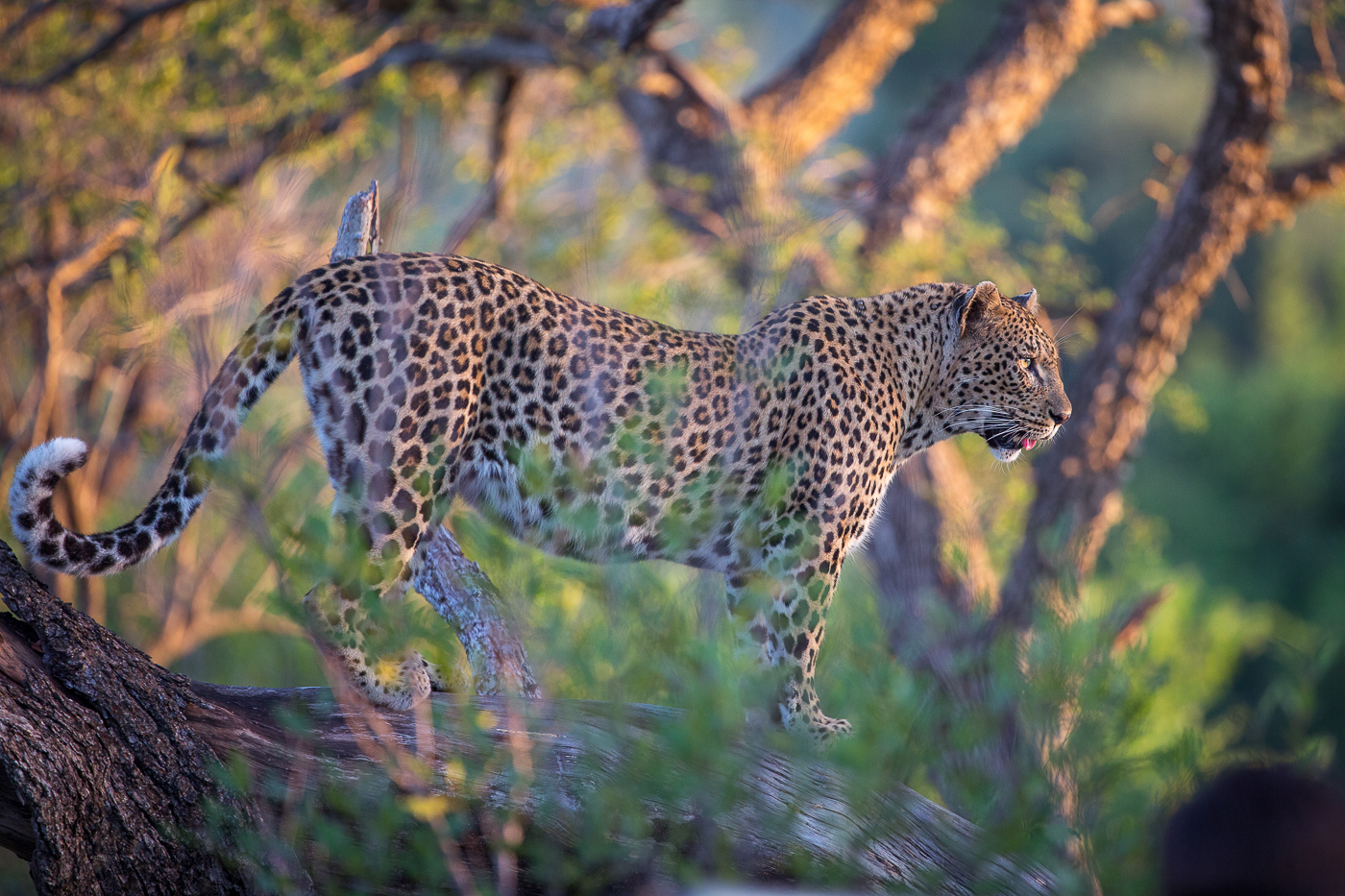 mashaba female leopard scanning