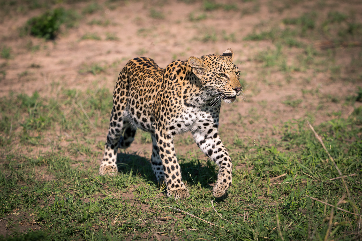 The Mashaba youngster leopard