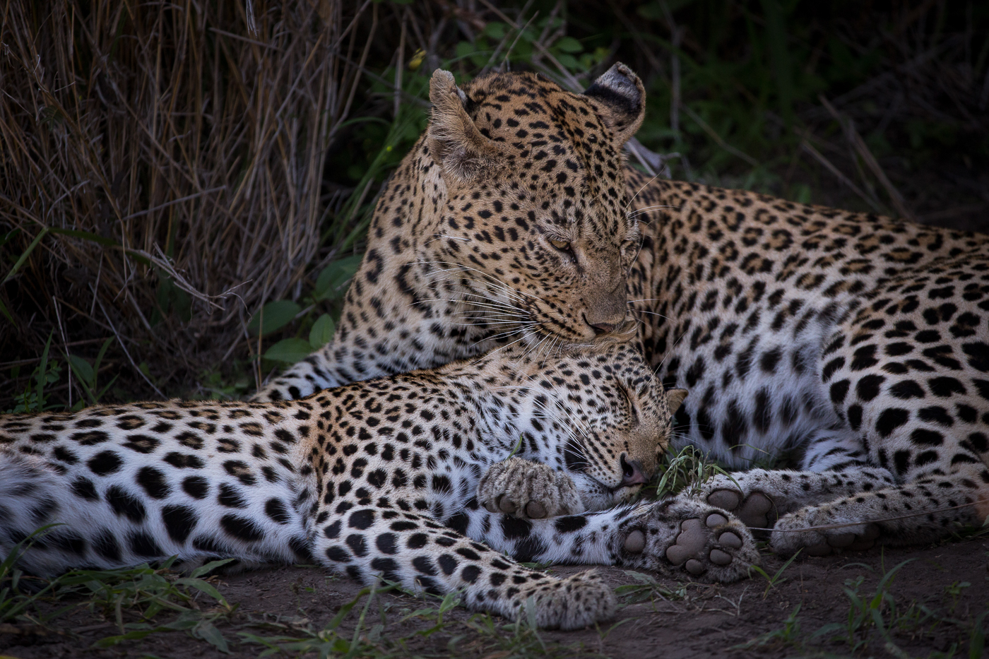 Mashaba female and cub