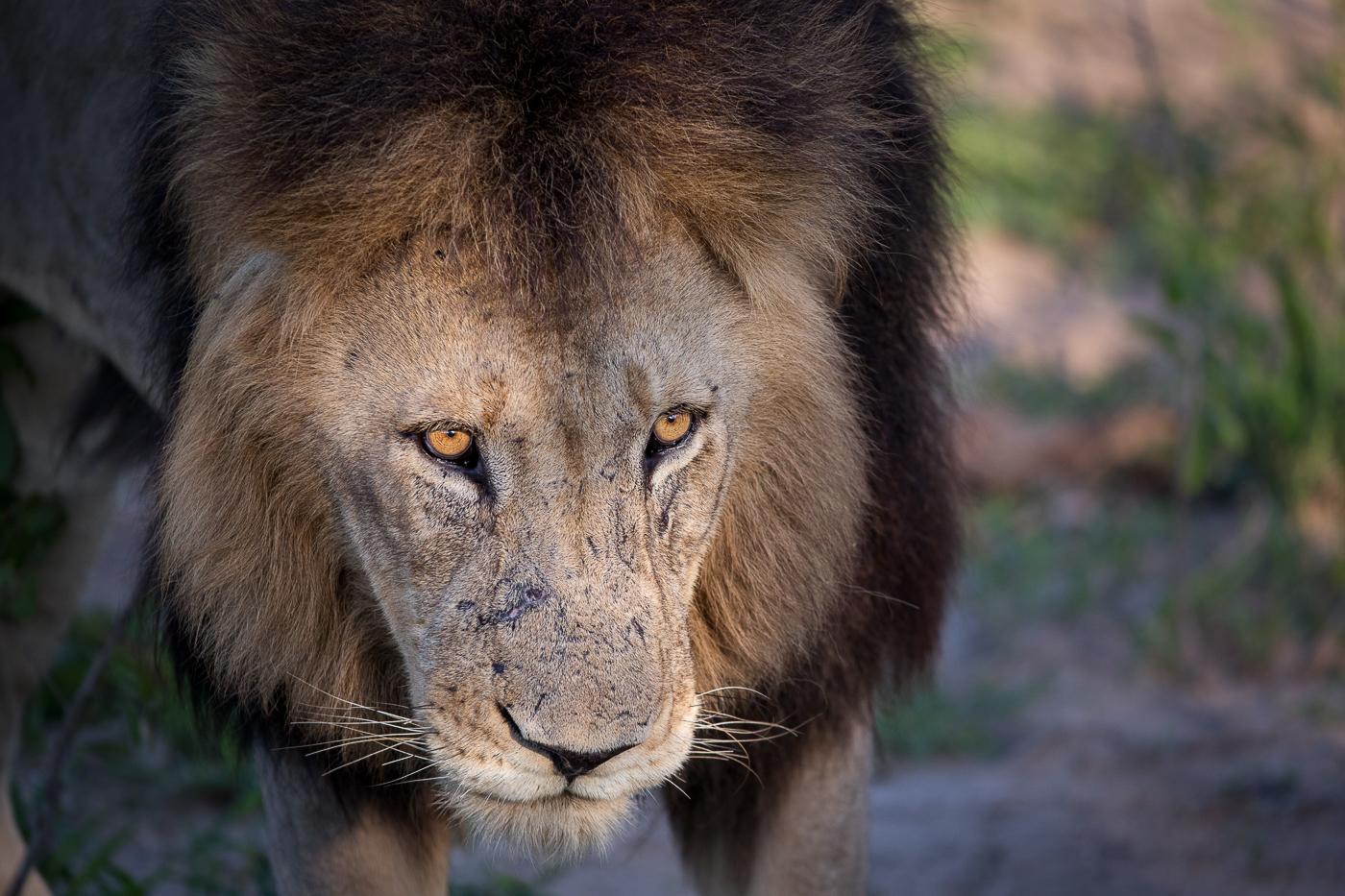 Matimba male lion