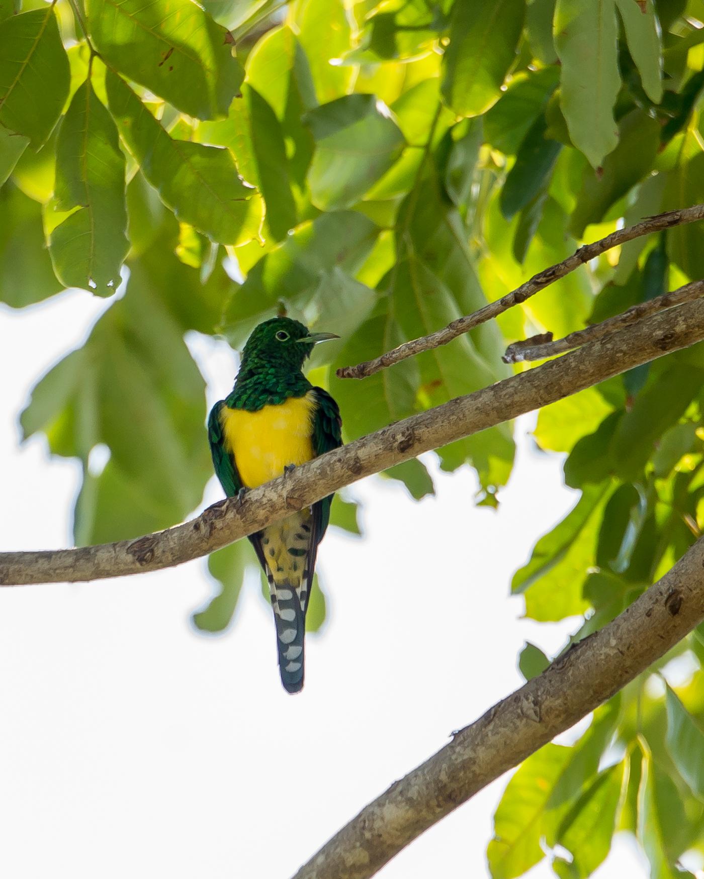 Emerald Cuckoo-1