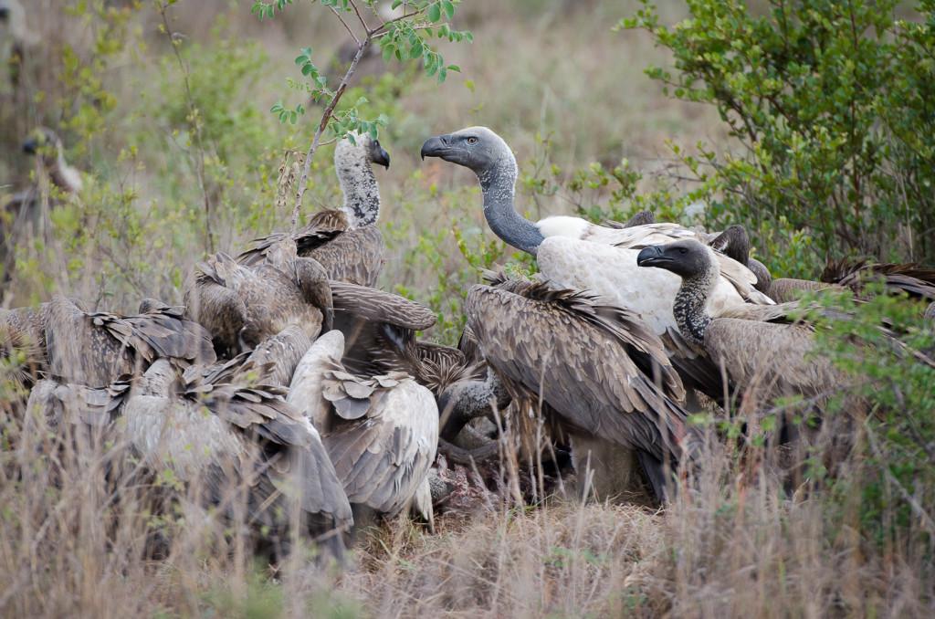 Cape-Vulture-1024x678