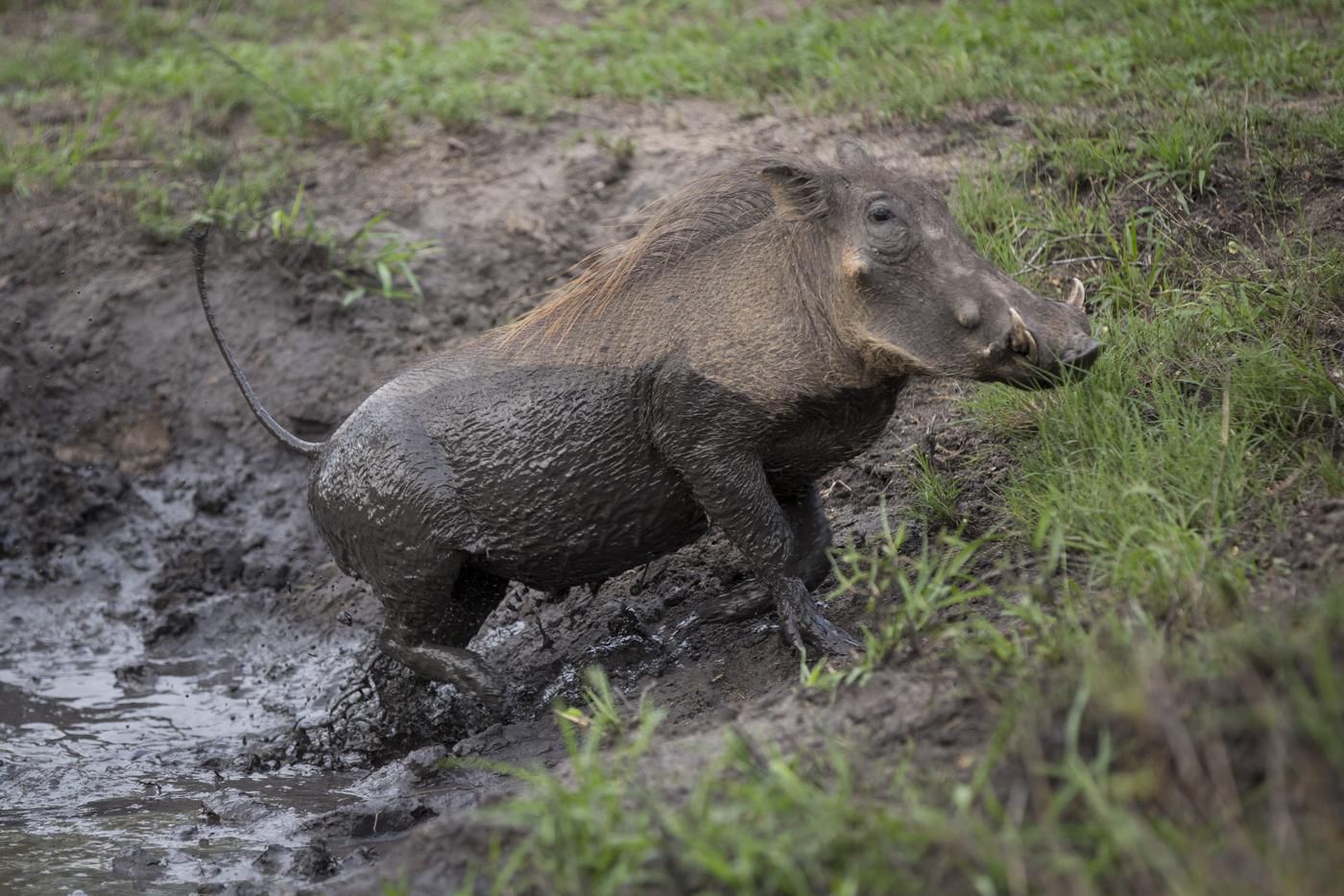 Warthog Mud