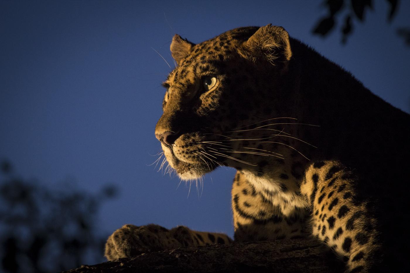 Mashaba Femael Leopard