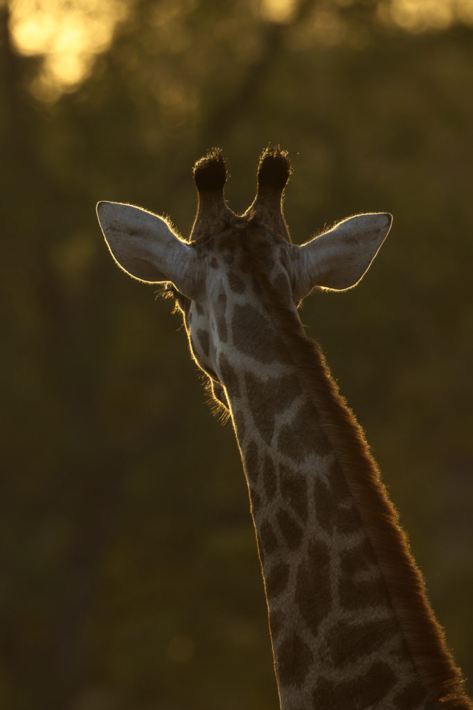 giraffe backlight
