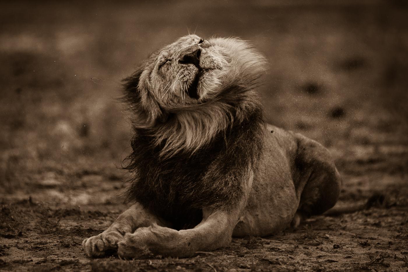 lion rain
