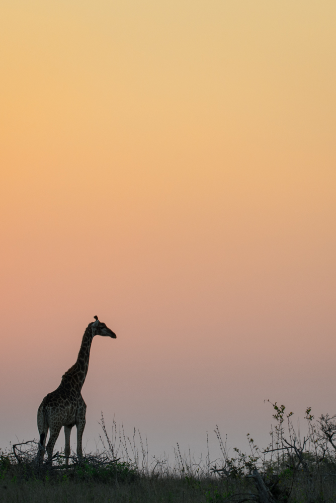 giraffe, silhouette, SC