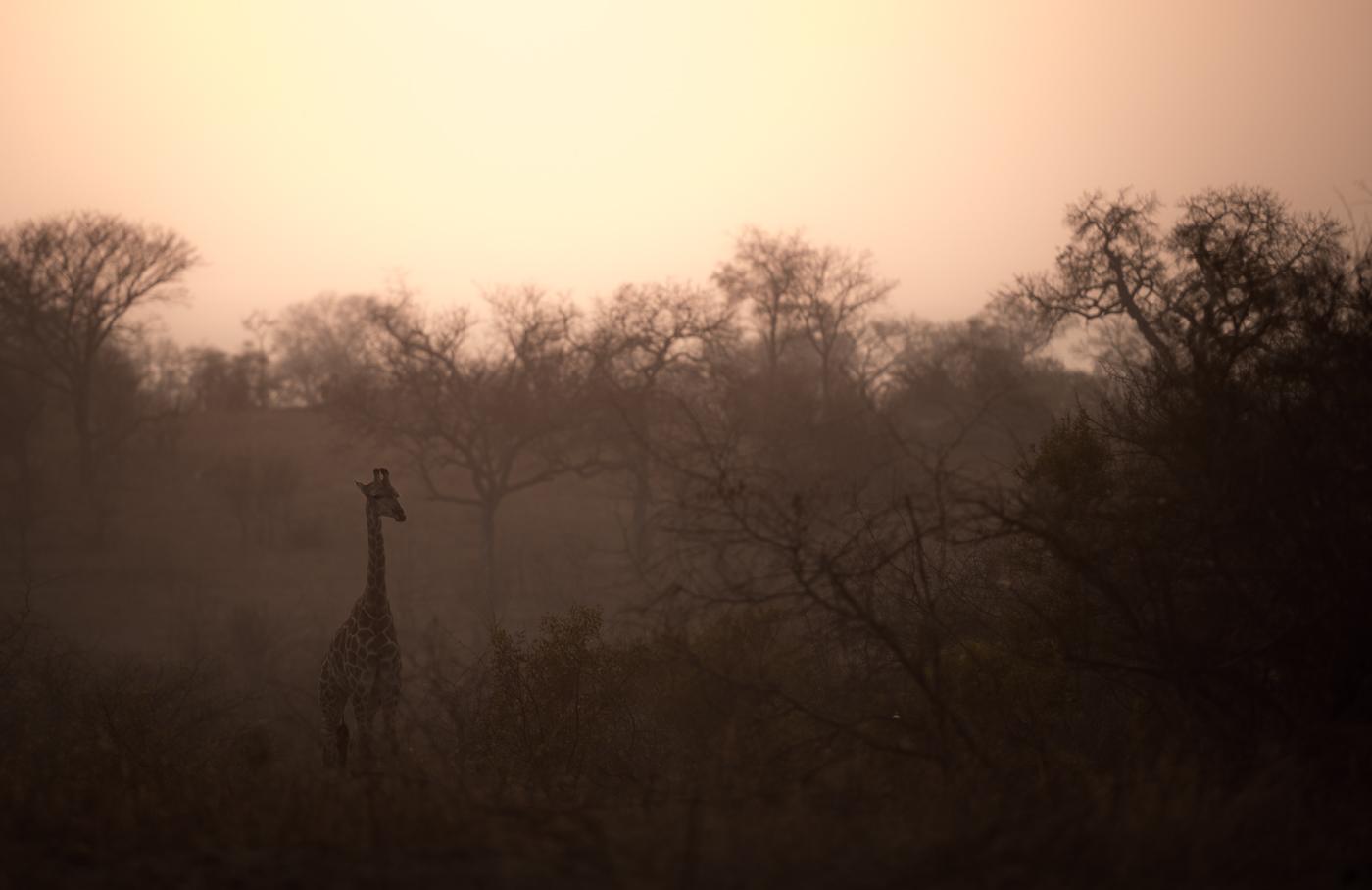 giraffe, sunrise, SC
