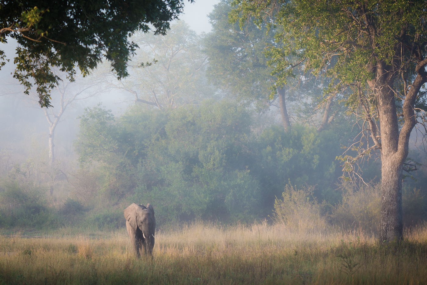 elephant, leadwood, mist, SC
