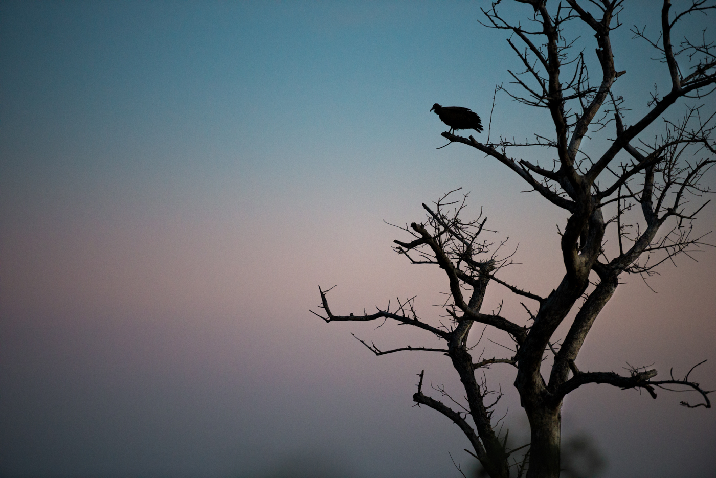 hooded vulture, sunset, silhouette, SC