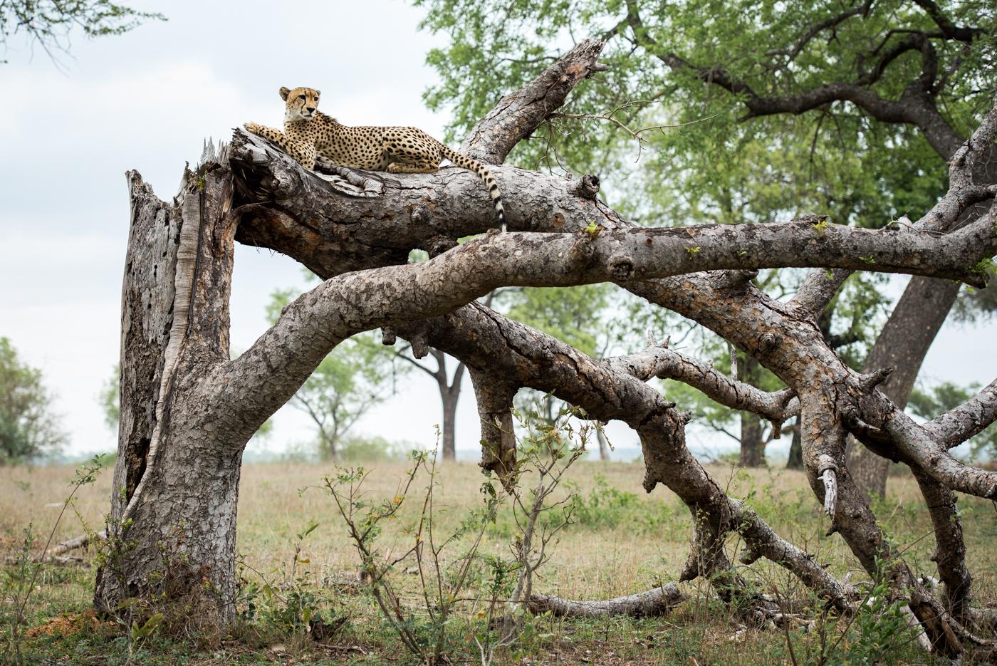 cheetah, SC