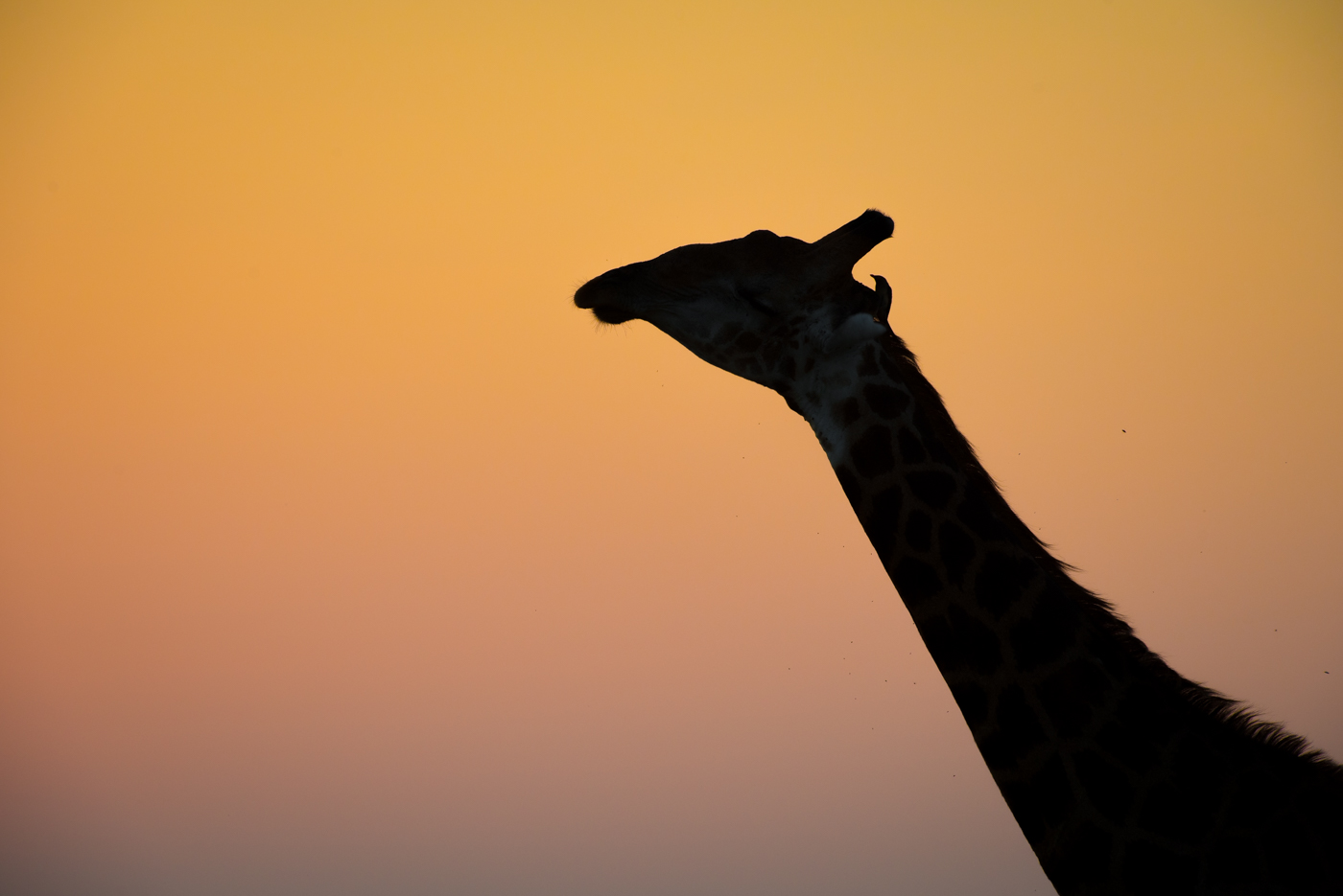 giraffe silhouette and oxpecker, SC