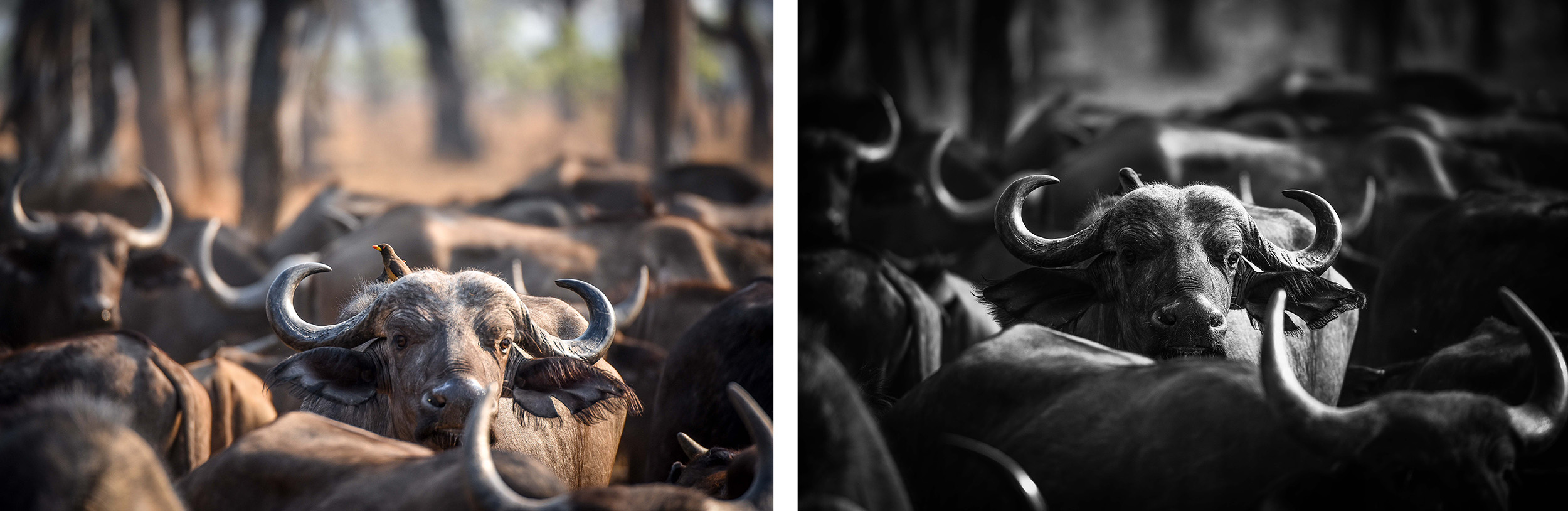 High contrast BW comparison - buffalo