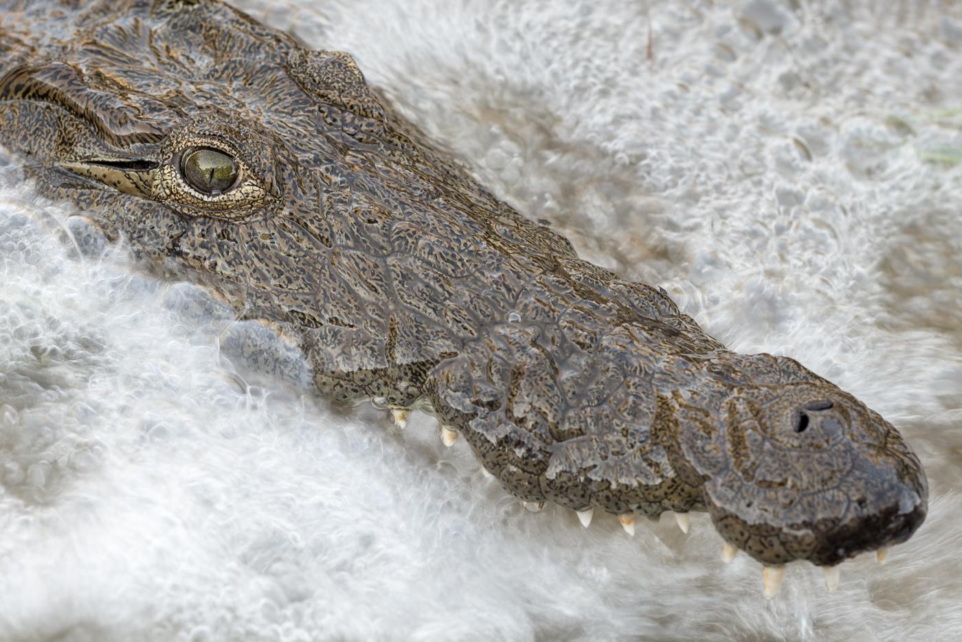 motion blur, crocodile, SC