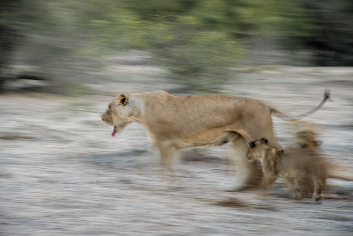panning and motion blur, lioness and cubs, SC