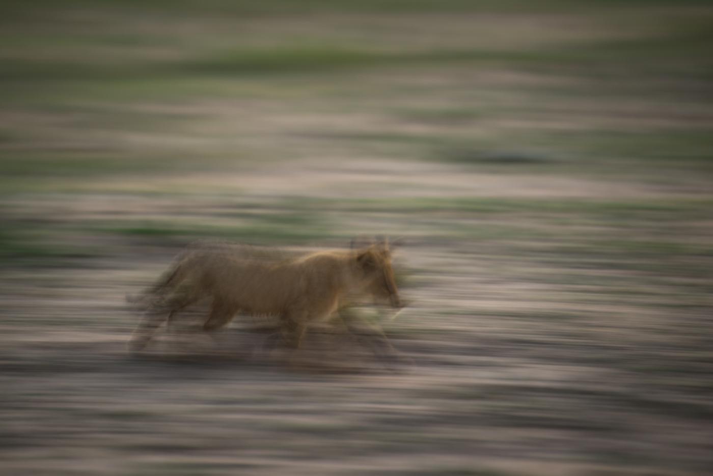 panning, lion cub, SC