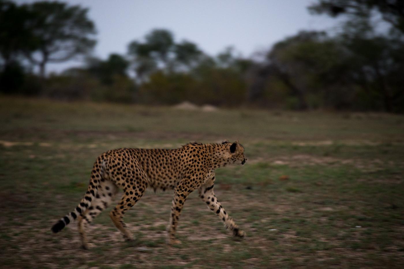 panning, cheetah, SC