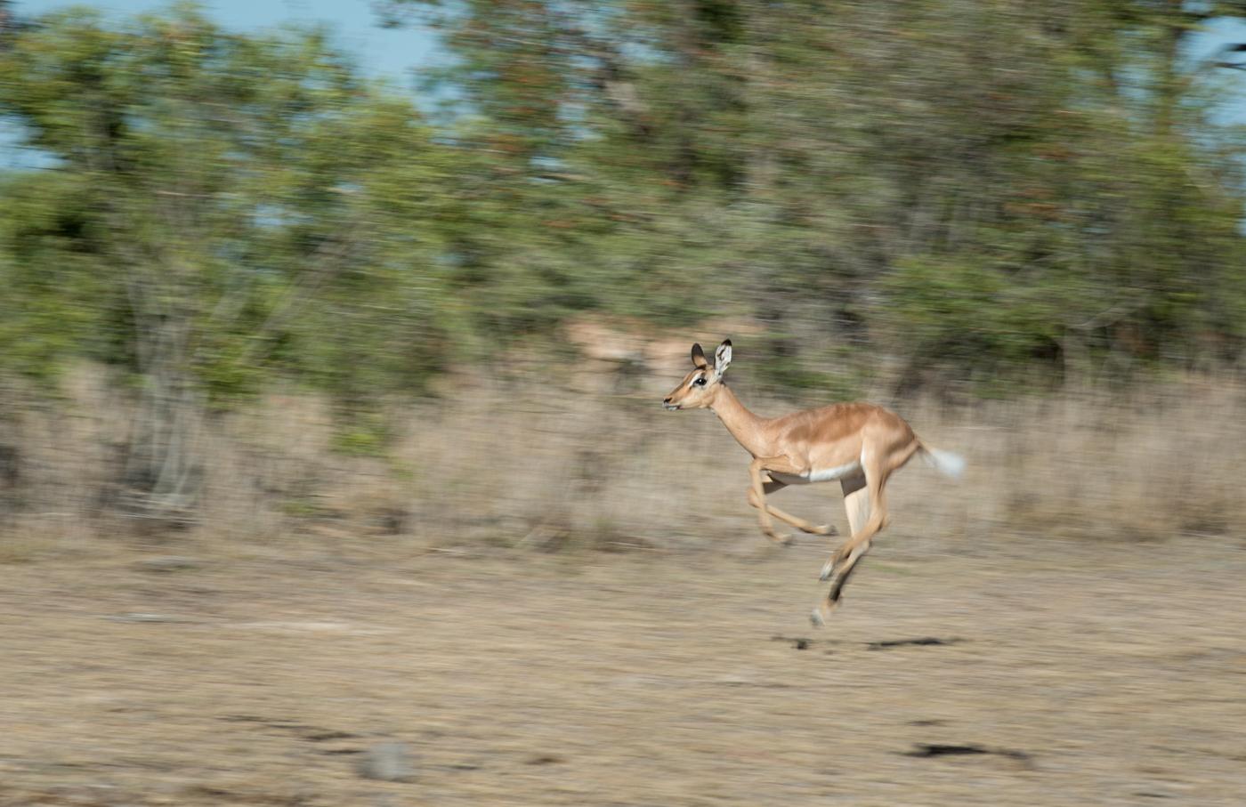panning, impala, SC