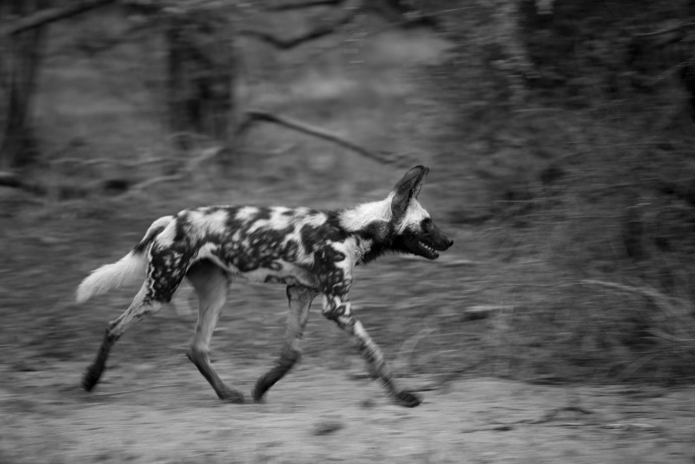 panning, wild dog, SC