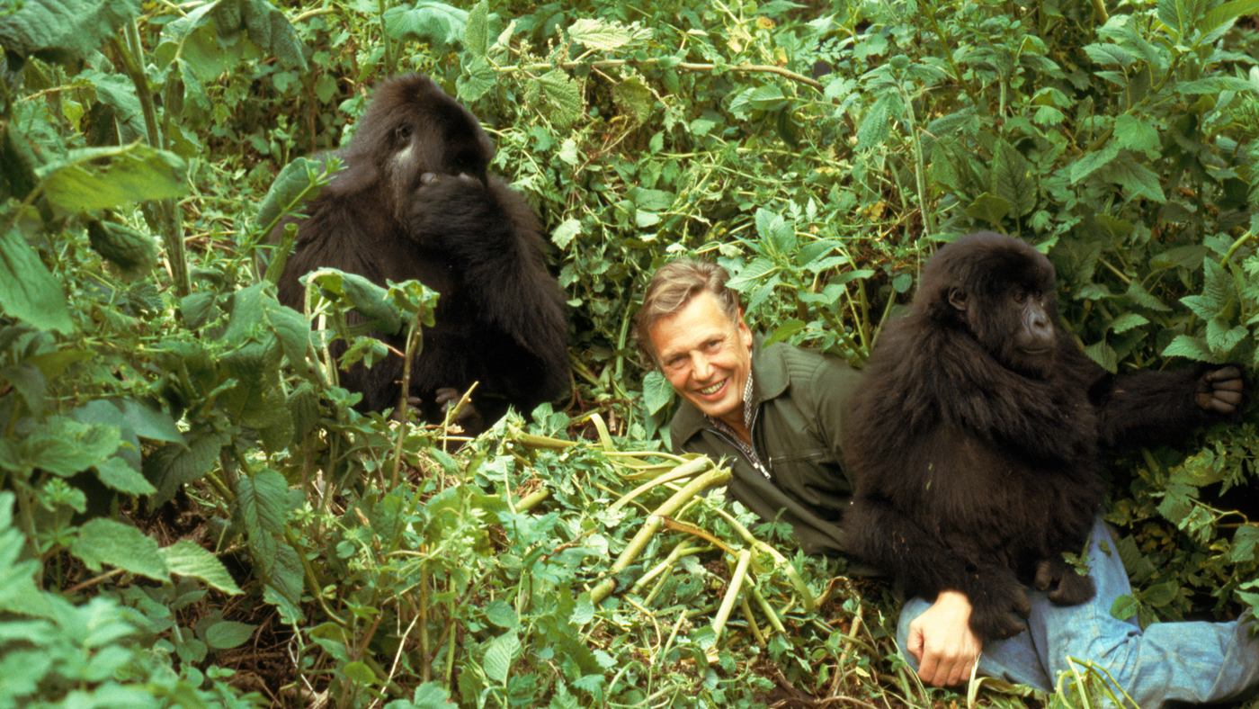 David Attenborough with mountain gorillas, on location for 'Life on Earth' in Rwanda 1979