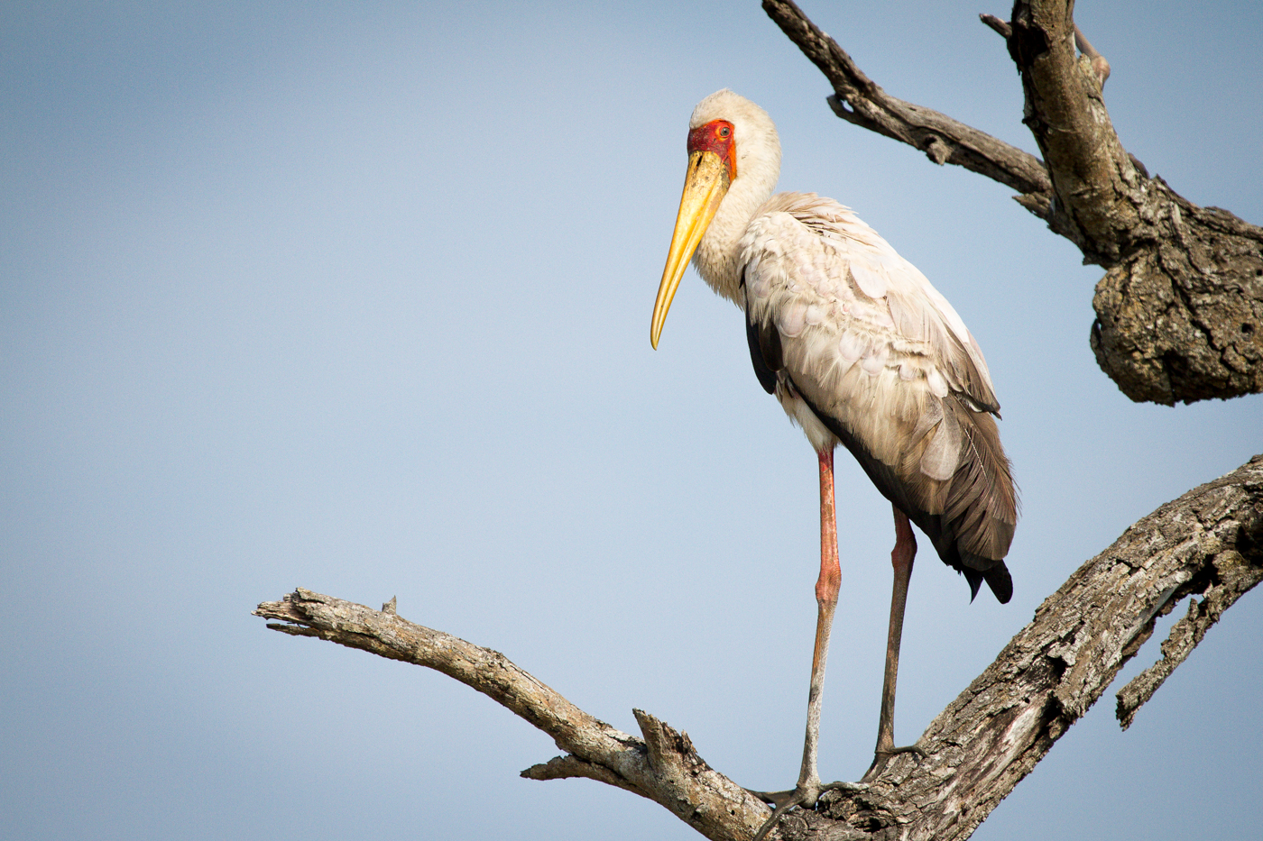 Andrea-Campbell-Yellow-Billed-Stork