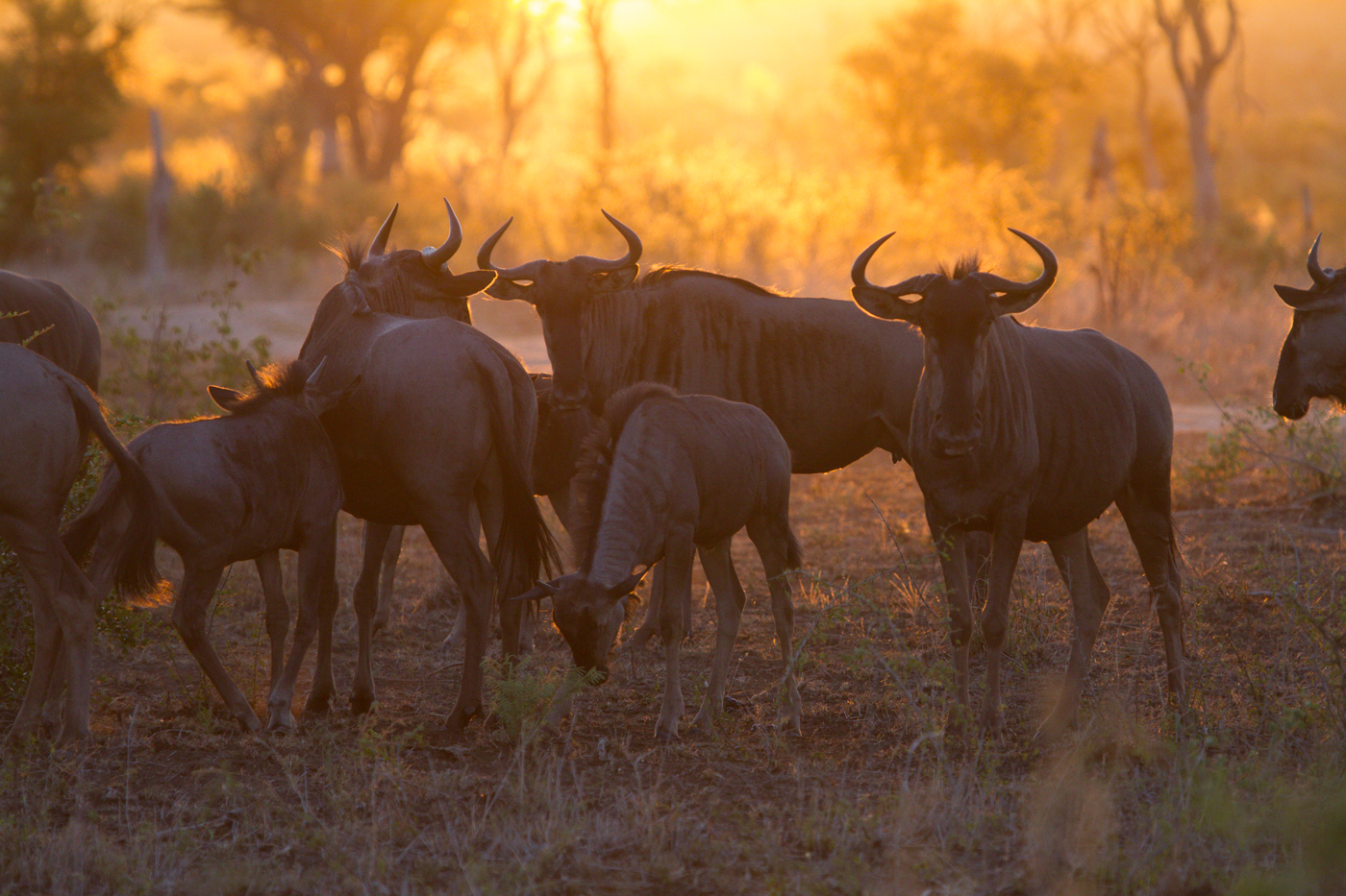 Andrea-Campbell-Wildebeest