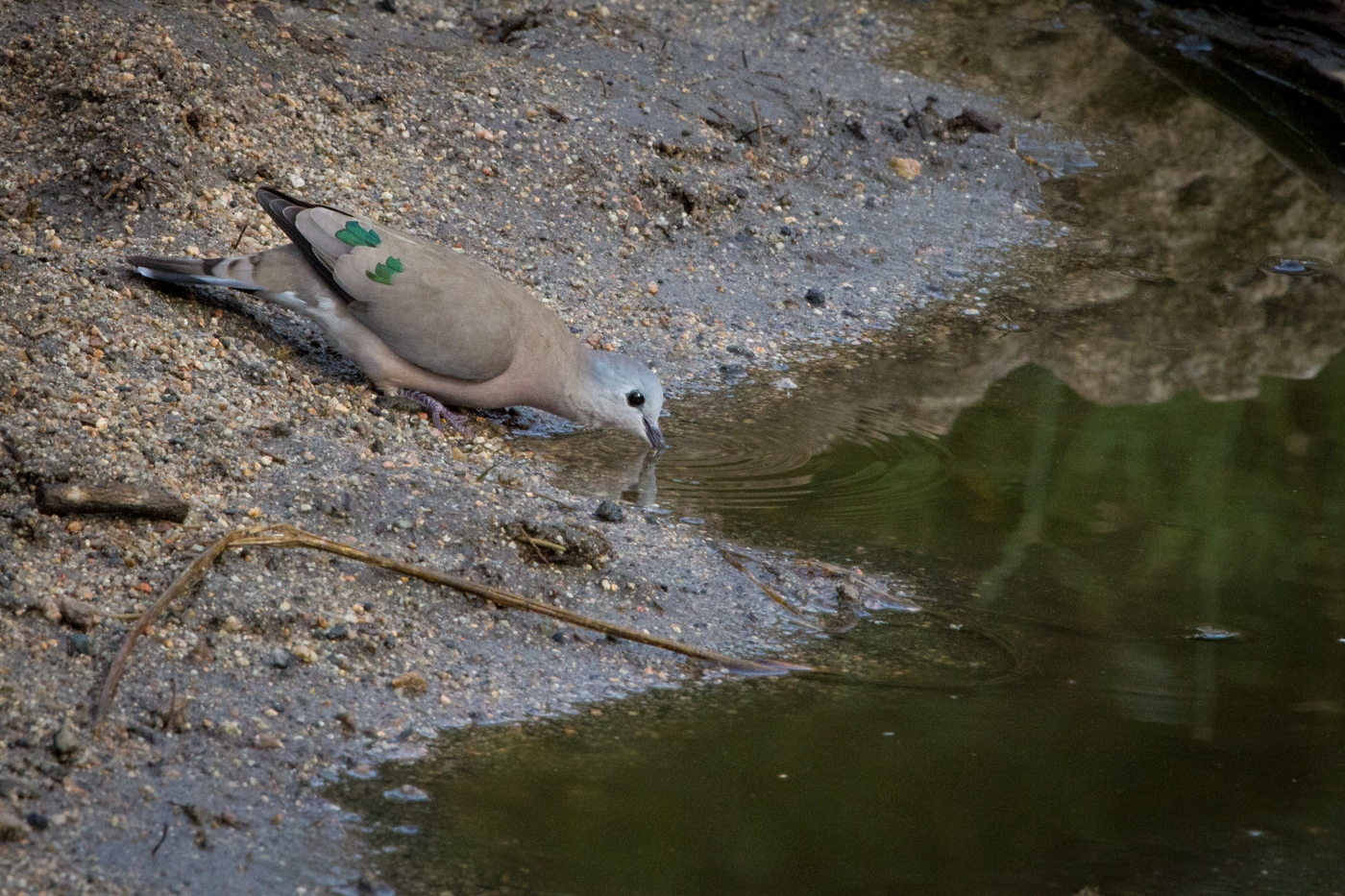 Andrea-Campbell-Emerald-Spotted-Wood-Dove