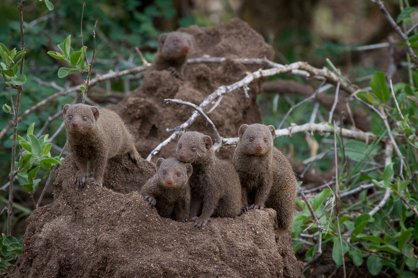 Andrea-Campbell-Dwarf-Mongoose