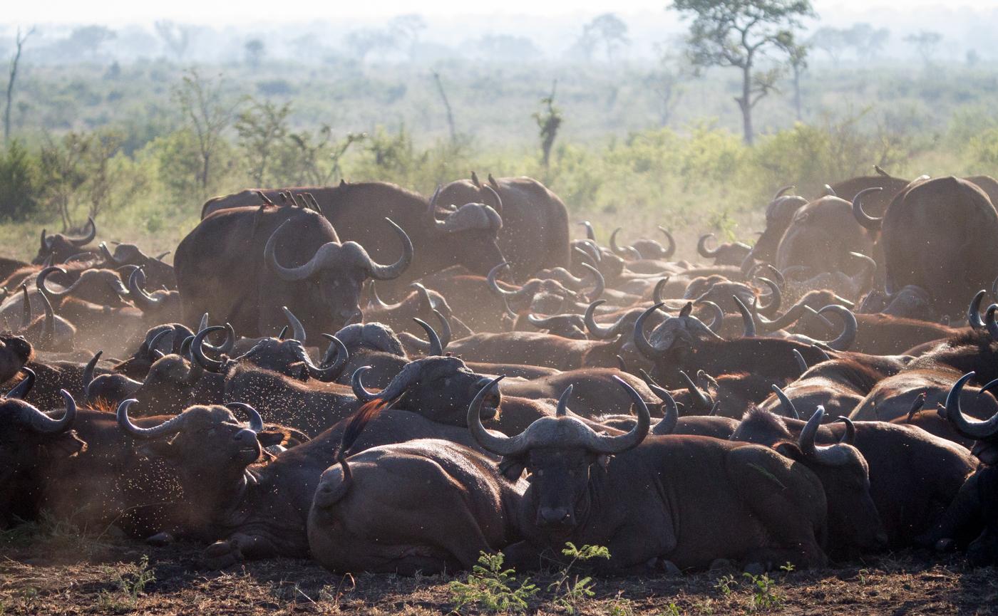 Andrea-Campbell-buffalo-herd