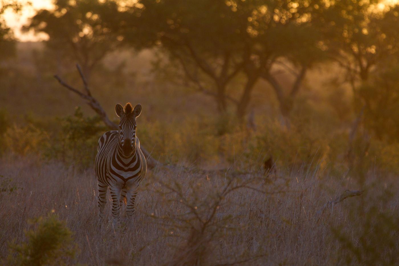 Andrea-Campbell-backlit-Zebra