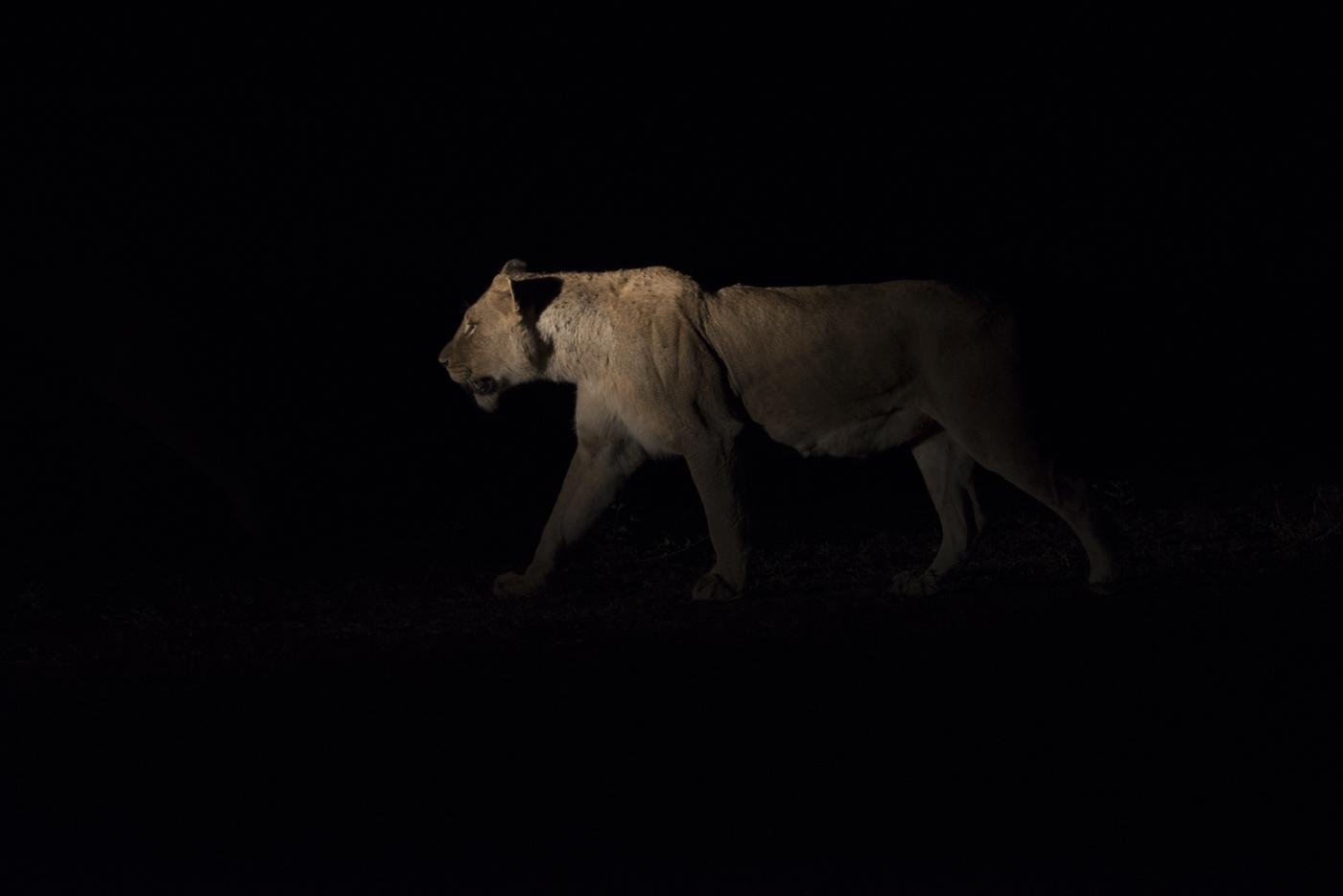 lioness spotlight