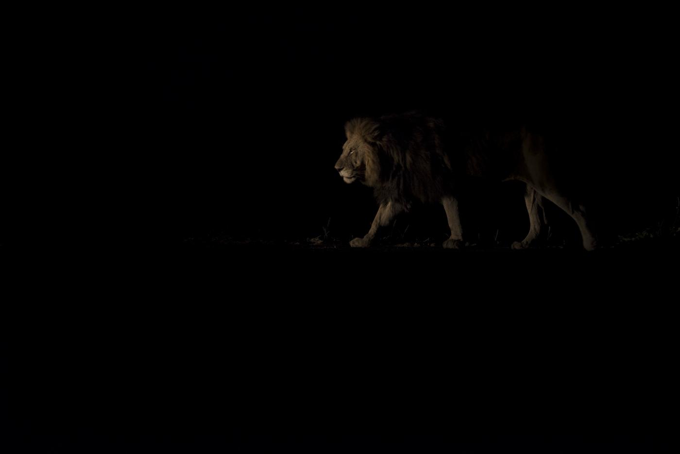 male lion backlight