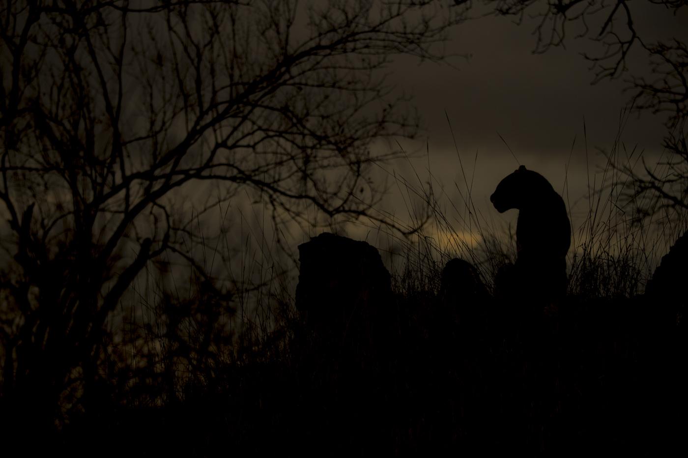 leopard silhouette grey