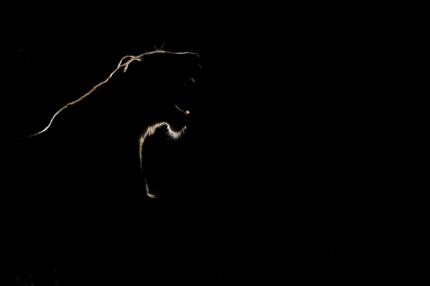 lioness backlight