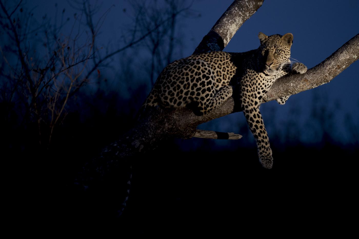 leopard tungsten side