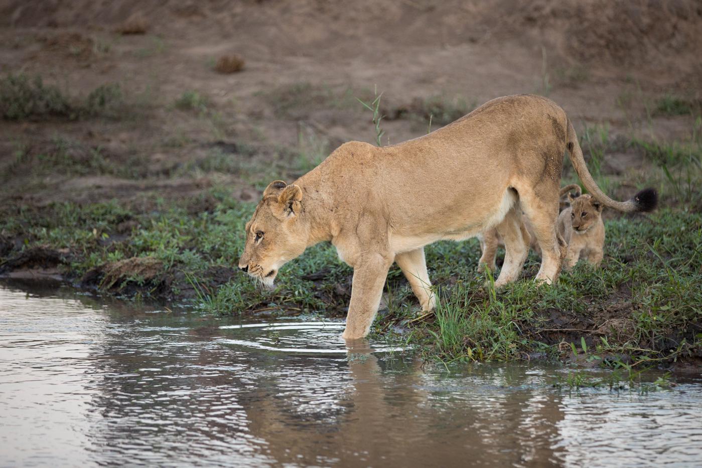Tsalala Lion Wade River